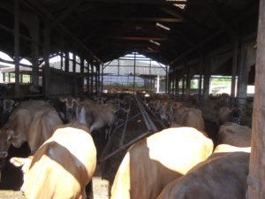 Jersey's stellen minder eisen aan een stal en staan daardoor in een lagekostenstal. De productie ligt gemiddeld rond 8000 l melk gecorrigeerd voor gehaltes op 9000 l FPCM (4%vet 3,33% eiwit). De kosten zijn laag, omdat de koeien worden gevoerd in een voergoot die tijdens het melken wordt gevuld. Dus er is niet geïnvesteerd in een voergang. Daarbij worden de koeien gehouden op stro afkomstig van de neventak akkerbouw.