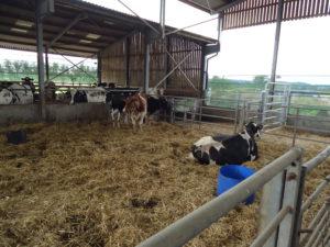 4 zieke dieren op een koppel van 1200 melkkoeien. Het geheim zit in de monitoring van de herkauwactiviteit. Zo worden de koeien dier zakken in herkauwactiviteit gecontroleerd en standaard gedrencht. Gemiddeld genomen zakt de herkauwactiviteit t twee dagen voordat de melkgift zakt. Het is dus een 'early warning'.